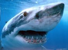 ทำนายฝัน ฝันเห็นฉลาม